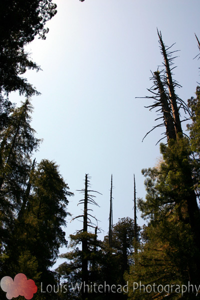 RedwoodTree1LogoWeb.jpg