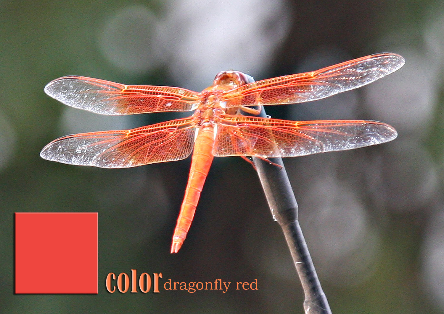 Color: Dragonfly Red CHIARIstyle