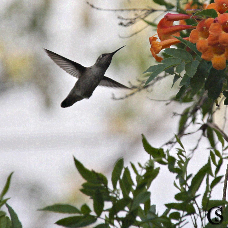 The Hummingbird is in the garden