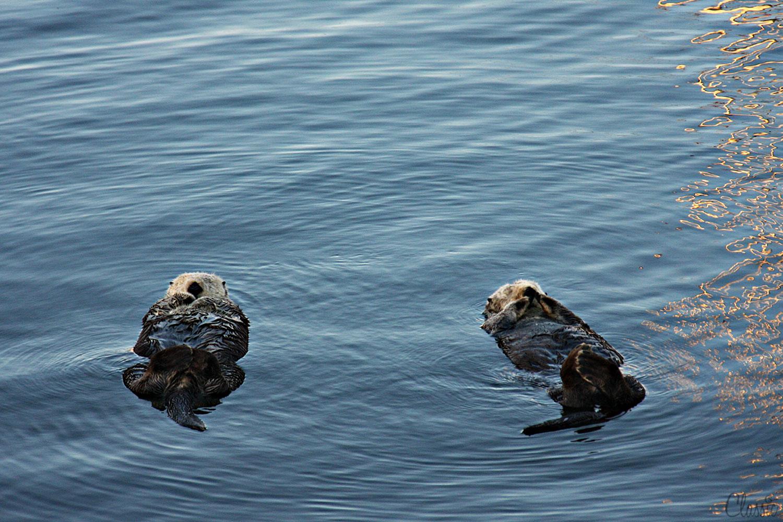 morro-bay-sea-ottors-resting-on-the-dock-19-chiaristyle.jpg