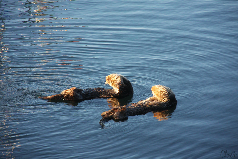 morro-bay-sea-ottors-take-in-the-sun-19-chiaristyle.jpg