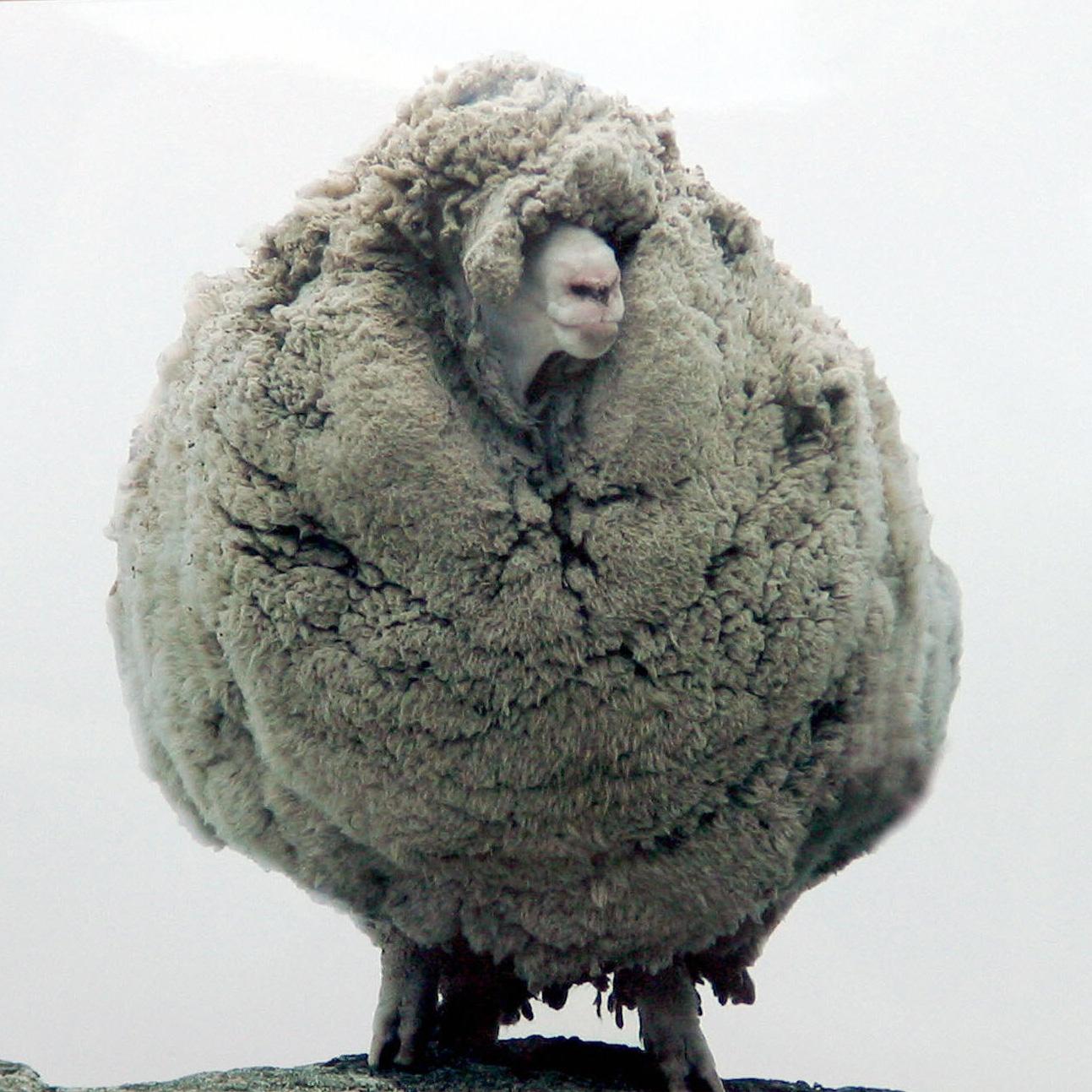 Shrek  , a  ovelha  que ficou sem ser tosquiada durante seis anos, tempo em que andou fugida. /   Shrek , a sheep thathid in a cave for six years without being shorn;