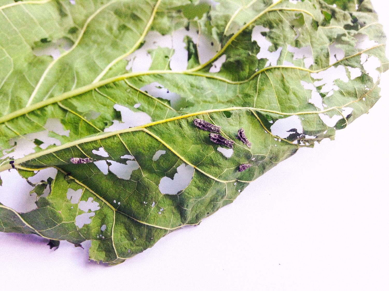 Vestígios da muda de pele entre o primeiro e o segundo ínstar. / Traces of the silkworm moulting between the 1st and 2nd instar;