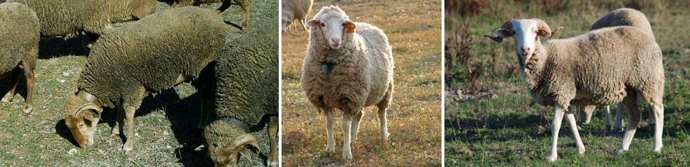 Ovinos de raça Saloia, Campaniça, e Serra da Estrela.  (Créditos fotográficos: ACRO, João Madeira e Ruralbit). /  Saloia, Campaniça and Serra da Estrela, a few example of bordaleira type breeds.