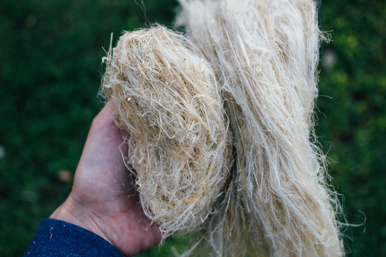 À esquerda, linho moído, ainda com muita palha. À direita, linho semi-espadelado na espadeladora /  On the left, broken flax with a lot of tow. On the right, semi-scutched flax done on our prototype.