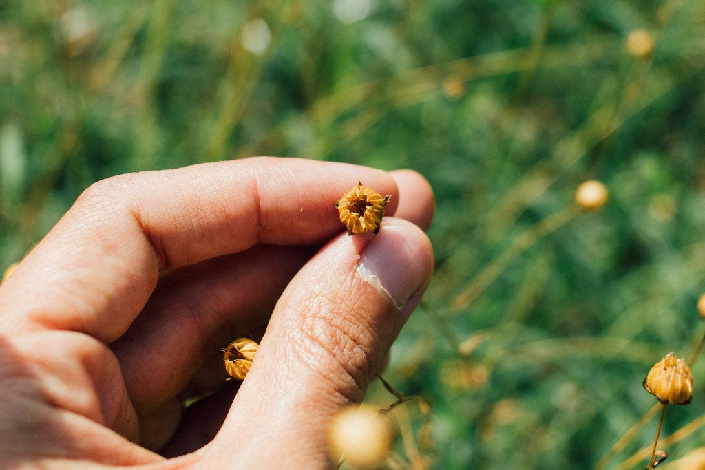 Cápsula deiscente, que abre espontaneamente quando amadurece, libertando a semente para o solo. / Dehiscent capsule that opens spontaneously;