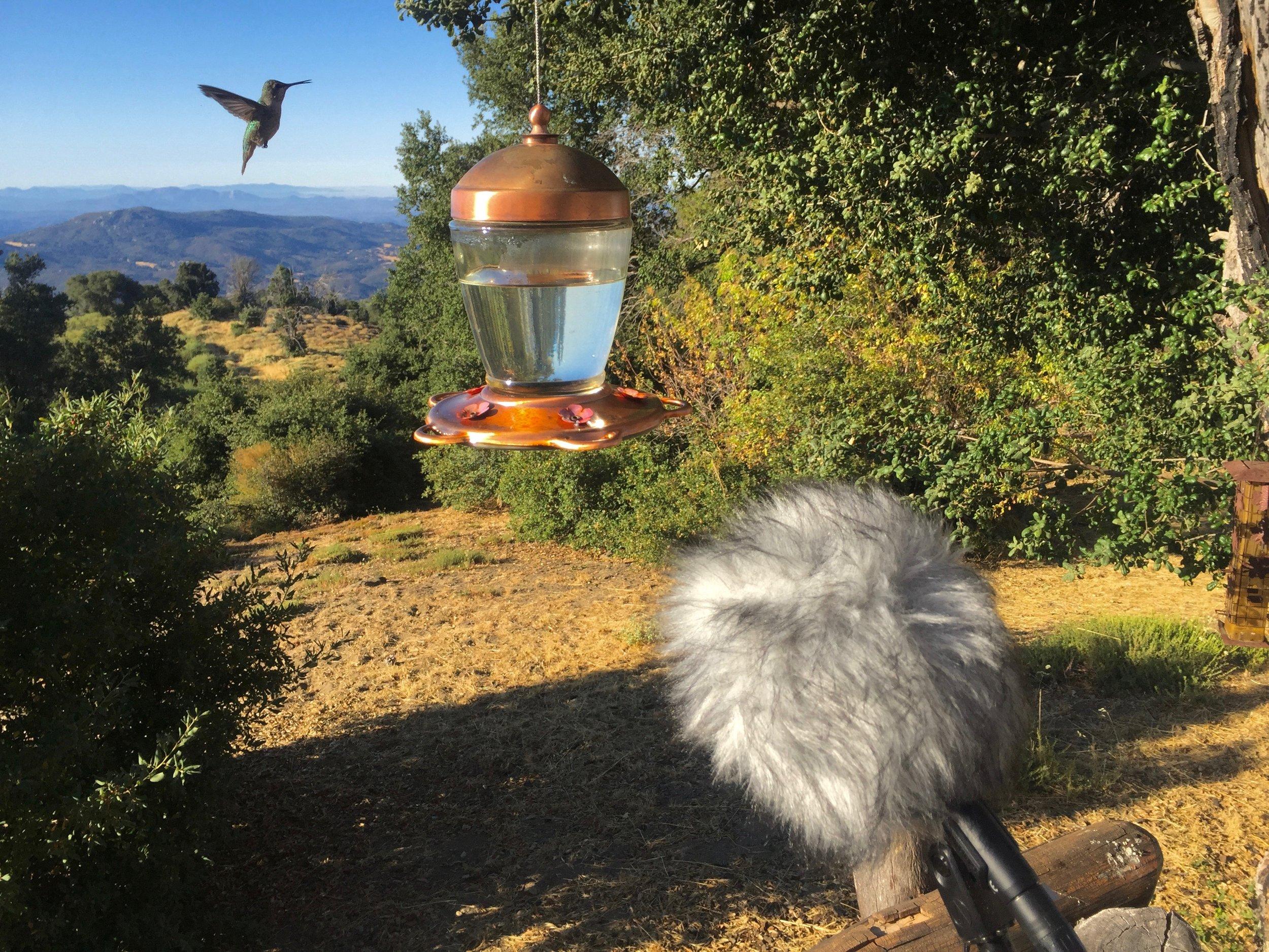 Hummingbirds_Palomar Mountain_AT4025.jpg