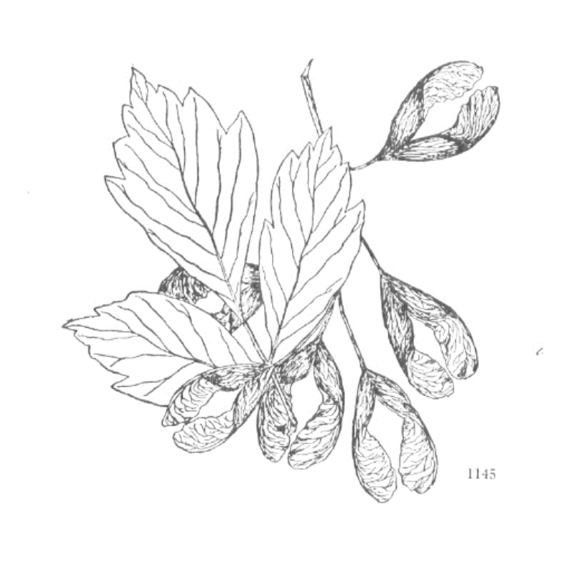 Hardwood: a maple with seeds