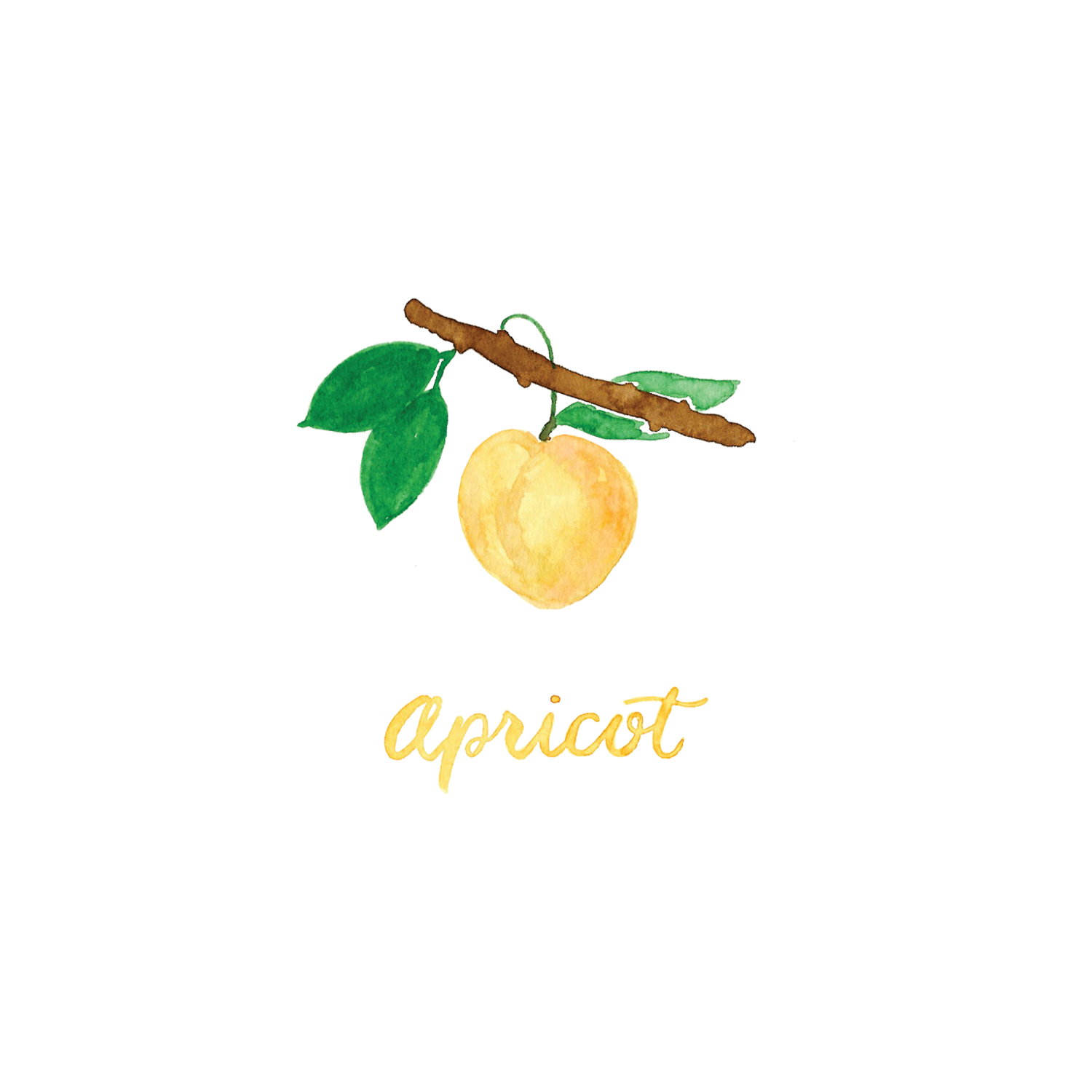 Watercolor Apricot Illustration and Lettering by Amanda Gomes • delightedco.com