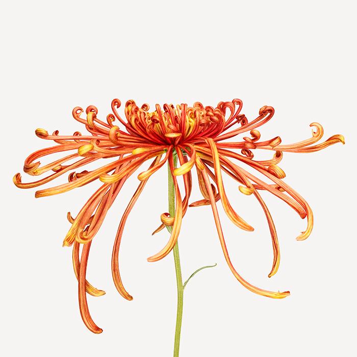 z_111107FL_studio_flower_034-SZ700.jpg