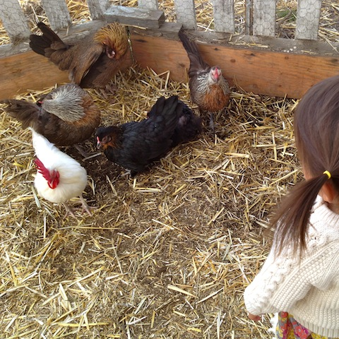cluck, cluck, cluck