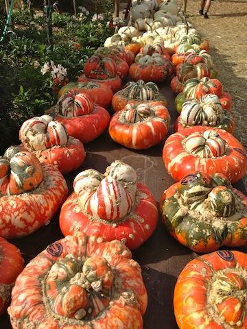 GMO pumpkins