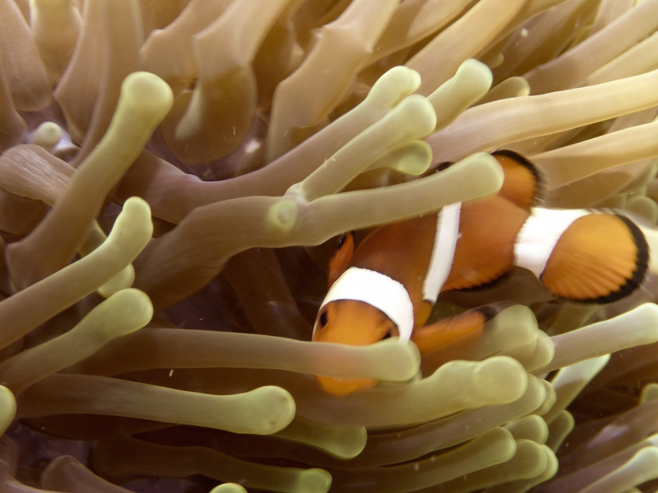 Clownfish and sea anemone. Photo: Vlademer Laloy
