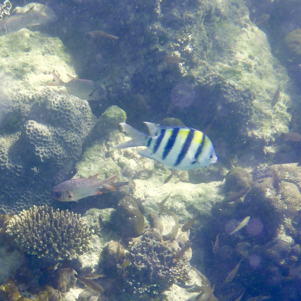 Convict tang. Photo: Vlademer Laloy