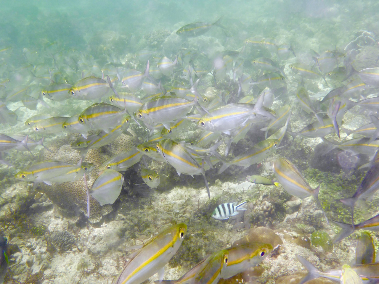 Convict tang amidst a school of yellow lined snappers. Photo: Vlademer Laloy