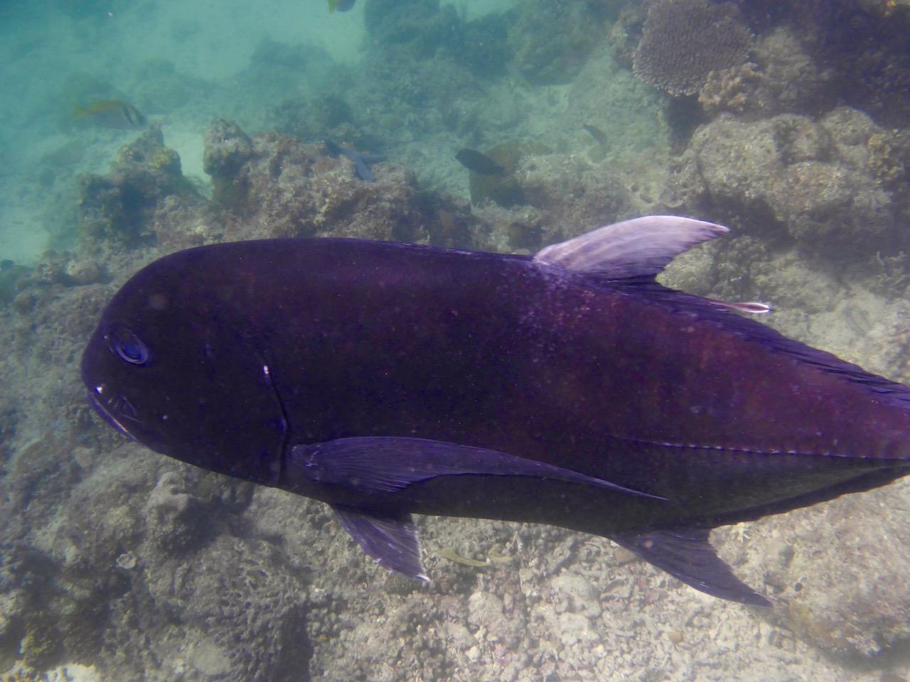 Jackfish. Photo: Vlademer Laloy