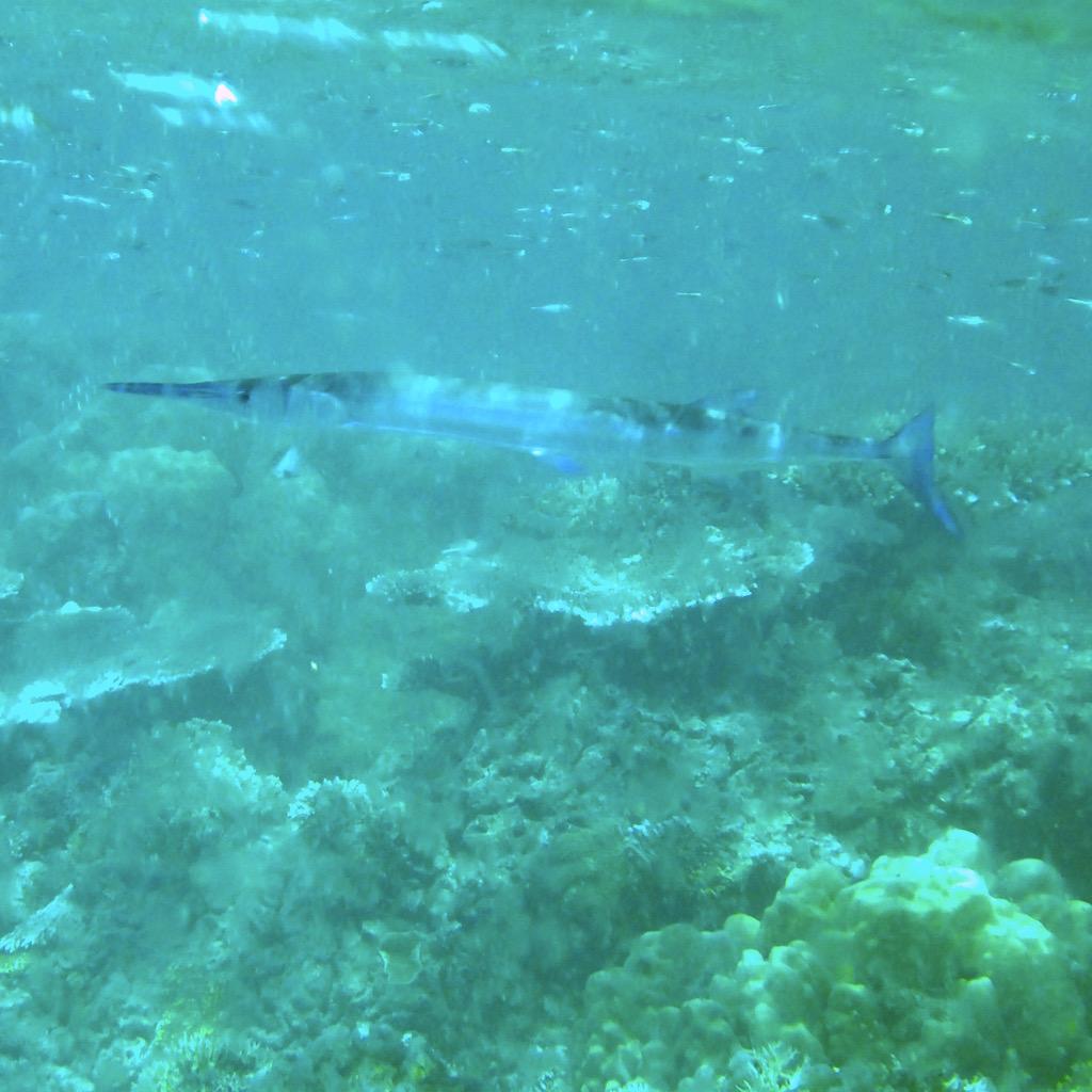 Flutefish. Photo: Vlademer Laloy