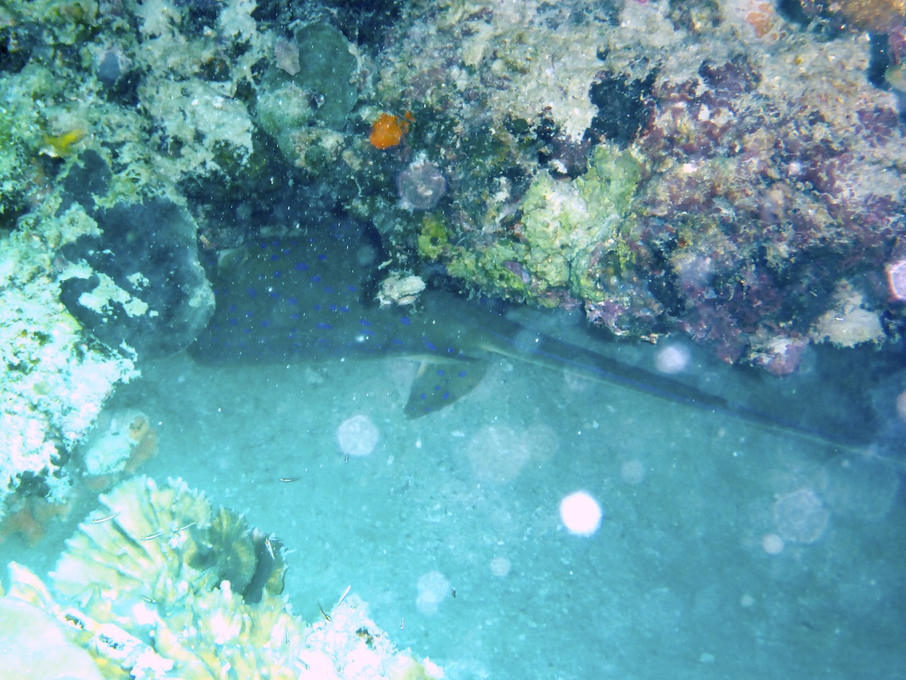 This blue spotted sting ray ran into us and then hid under the coral. You can just see its tail. Photo: Vlademer Laloy