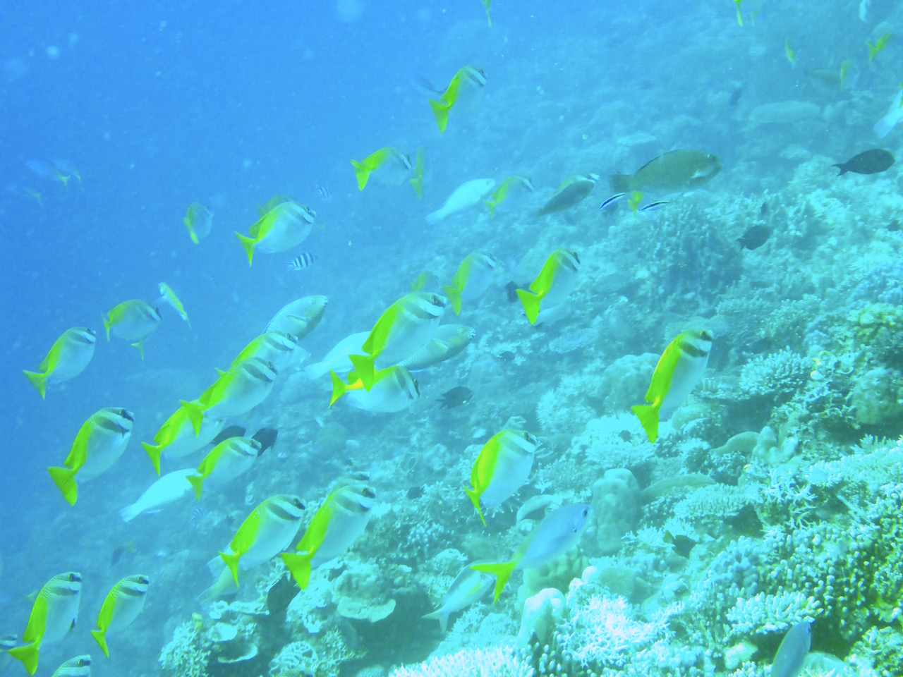 Yellow lined snapper. Photo: Vlademer Laloy