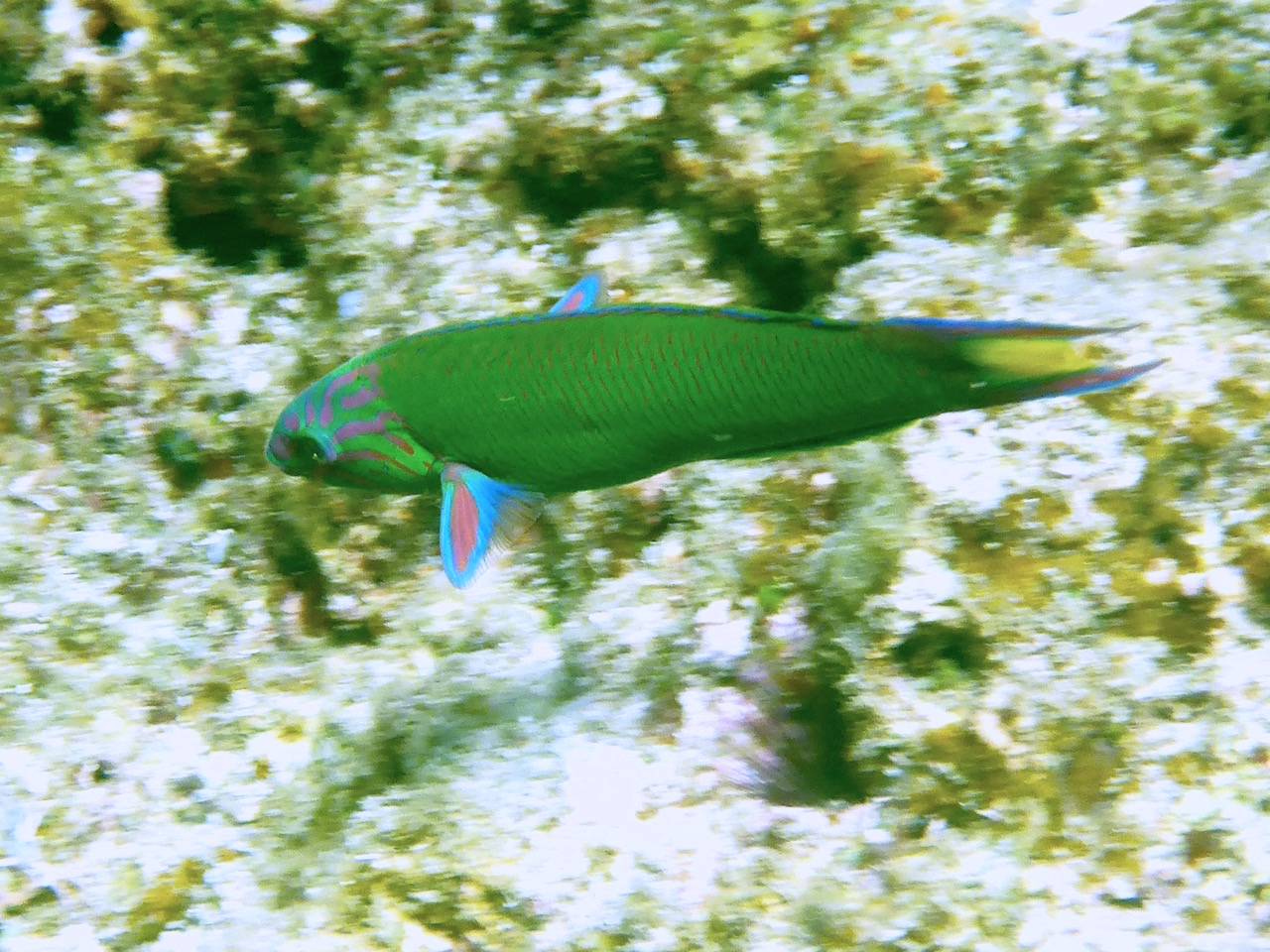 Parrotfish. Photo: Vlademer Laloy