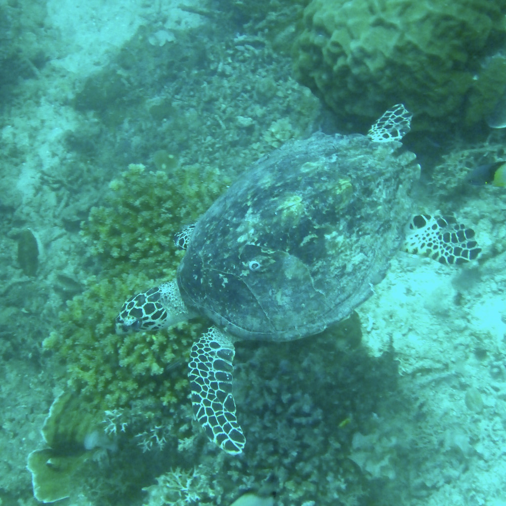Hawksbill sea turtle. Photo: Vlademer Laloy