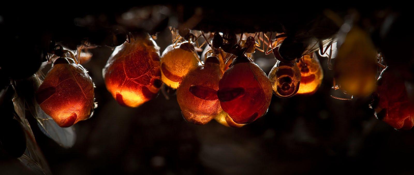 honey-ant