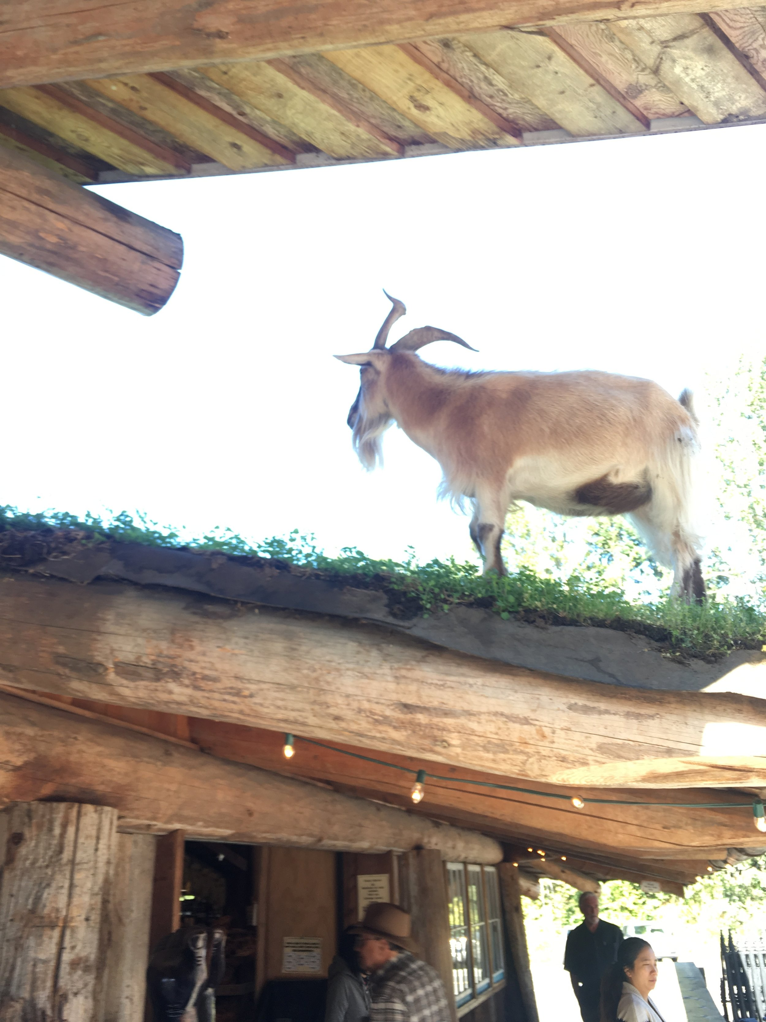 Goat's on the Roof