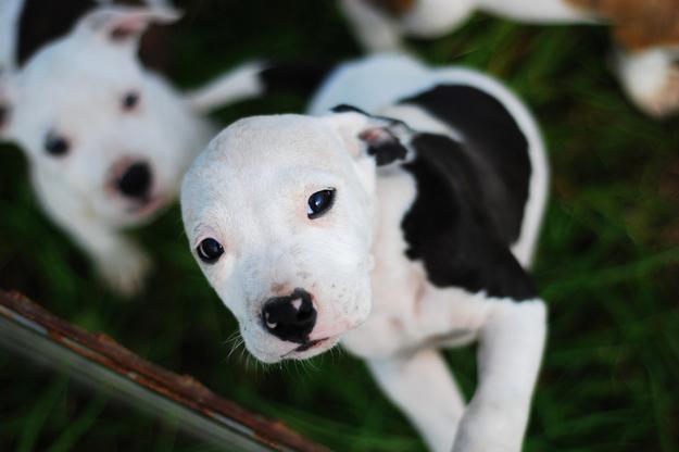 adorable pit bulls primal canine dog training