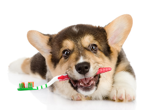 puppy tooth brush primal canine dog training