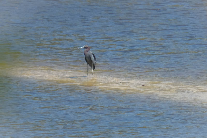 As we were leaving the dock this wonderful blue heron was standing on a sand bar.  So beautiful to see and photograph.  He didn't mind at all being a celebrity for a few minutes.