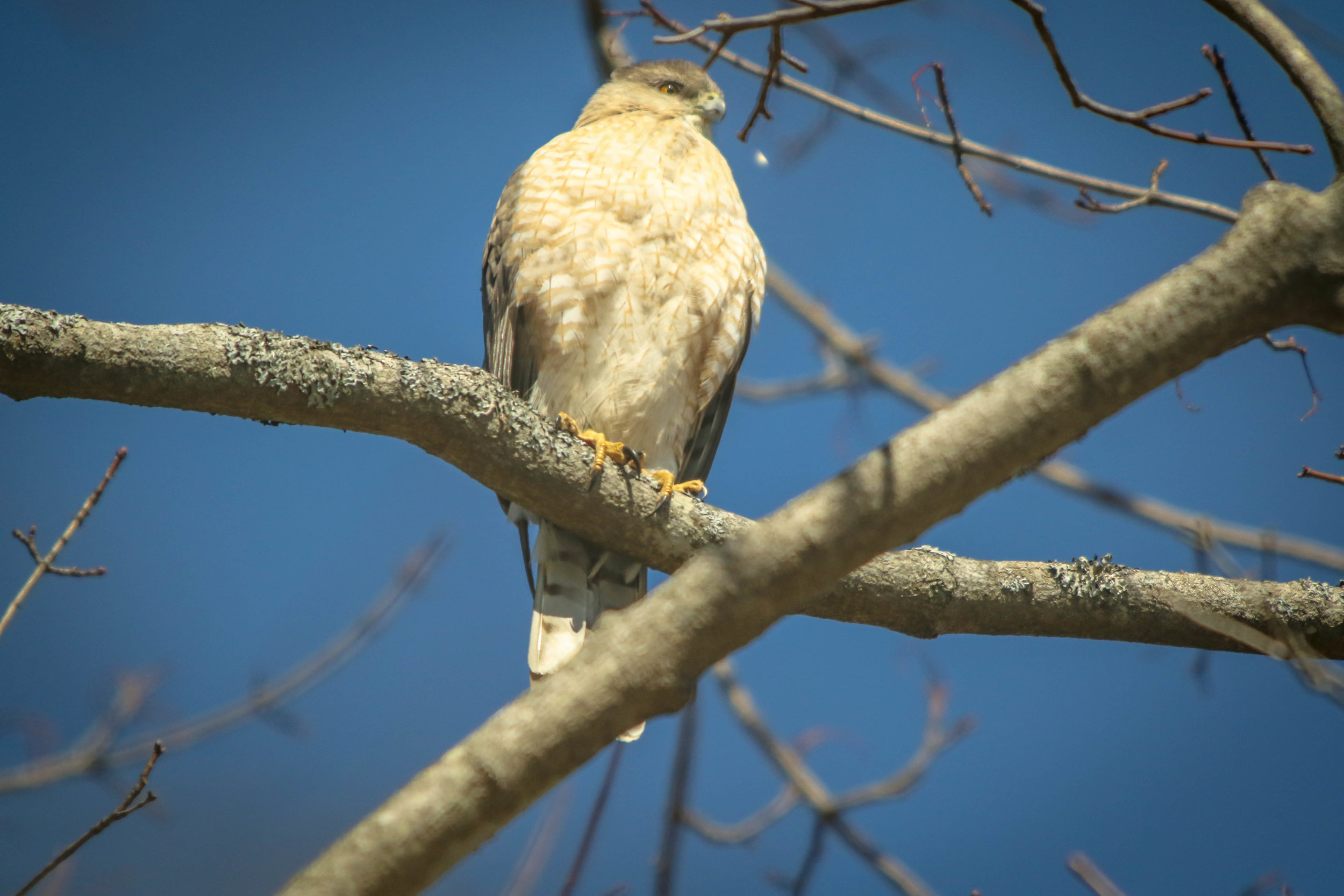 This was the first sign.  The Hawks have been missing all winter.  Now this one is back...in my yard.