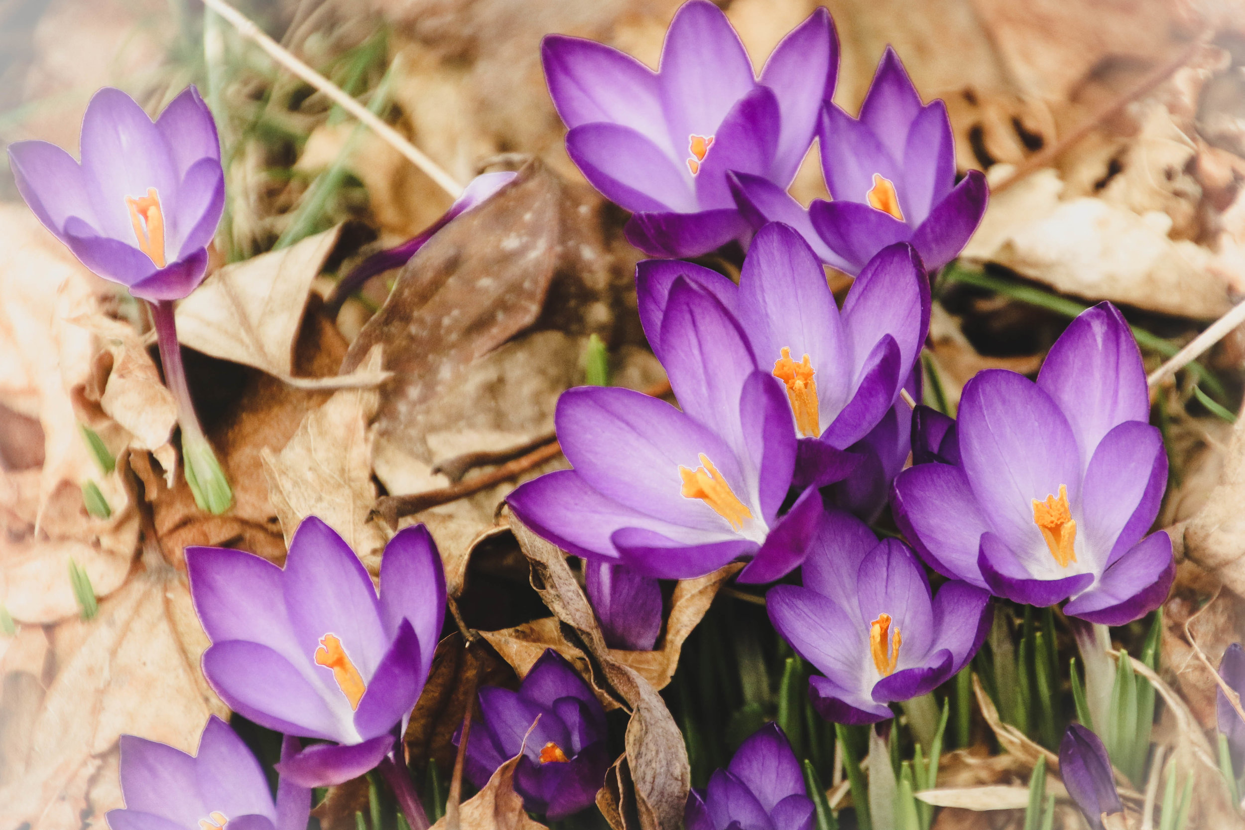 Back home again, in my own backyard, the crocuses broke through the mud and revealed themselves in all their beauty and strength.  Tiny little spring flowers pushing their weight around.  Like us, they refused to wait any longer for Spring.  I'm renewed in their beauty.