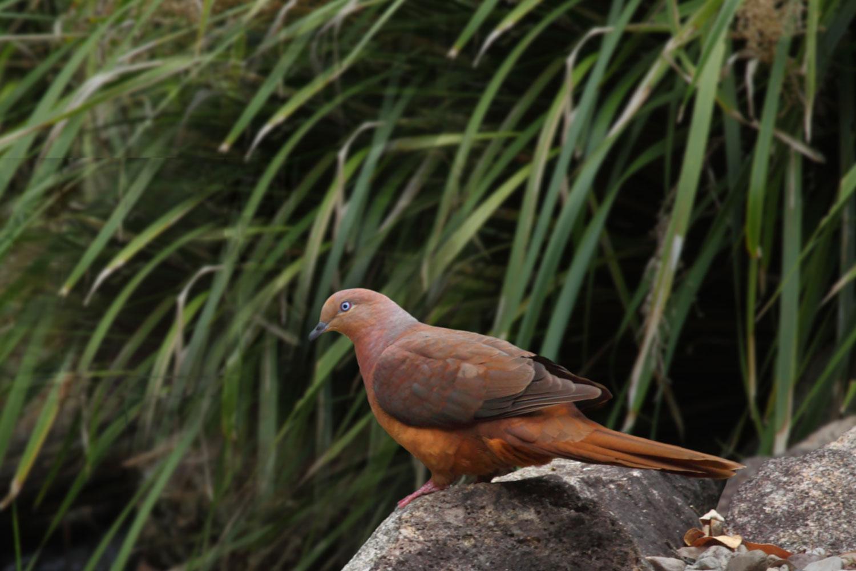 Brown Fruit Dove