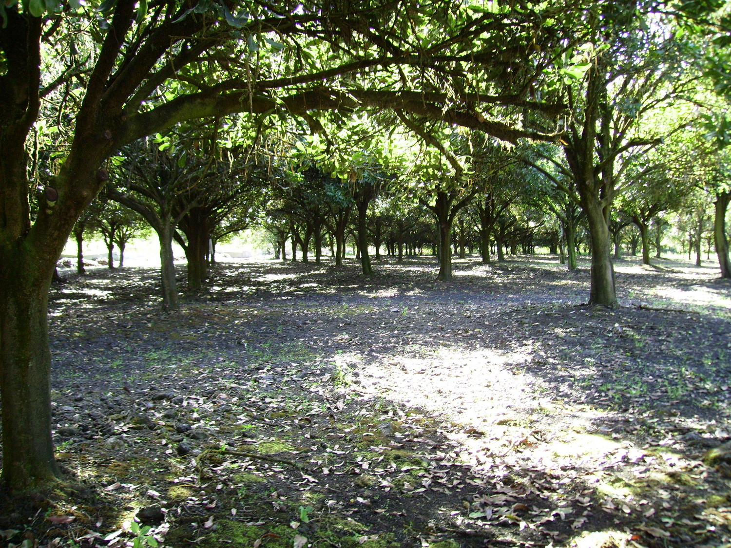 A look down the macadamia orchard on a beautiful sunny day.