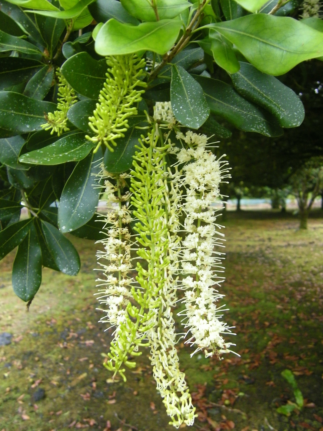Macadamia blossoms ready for the bees to visit.