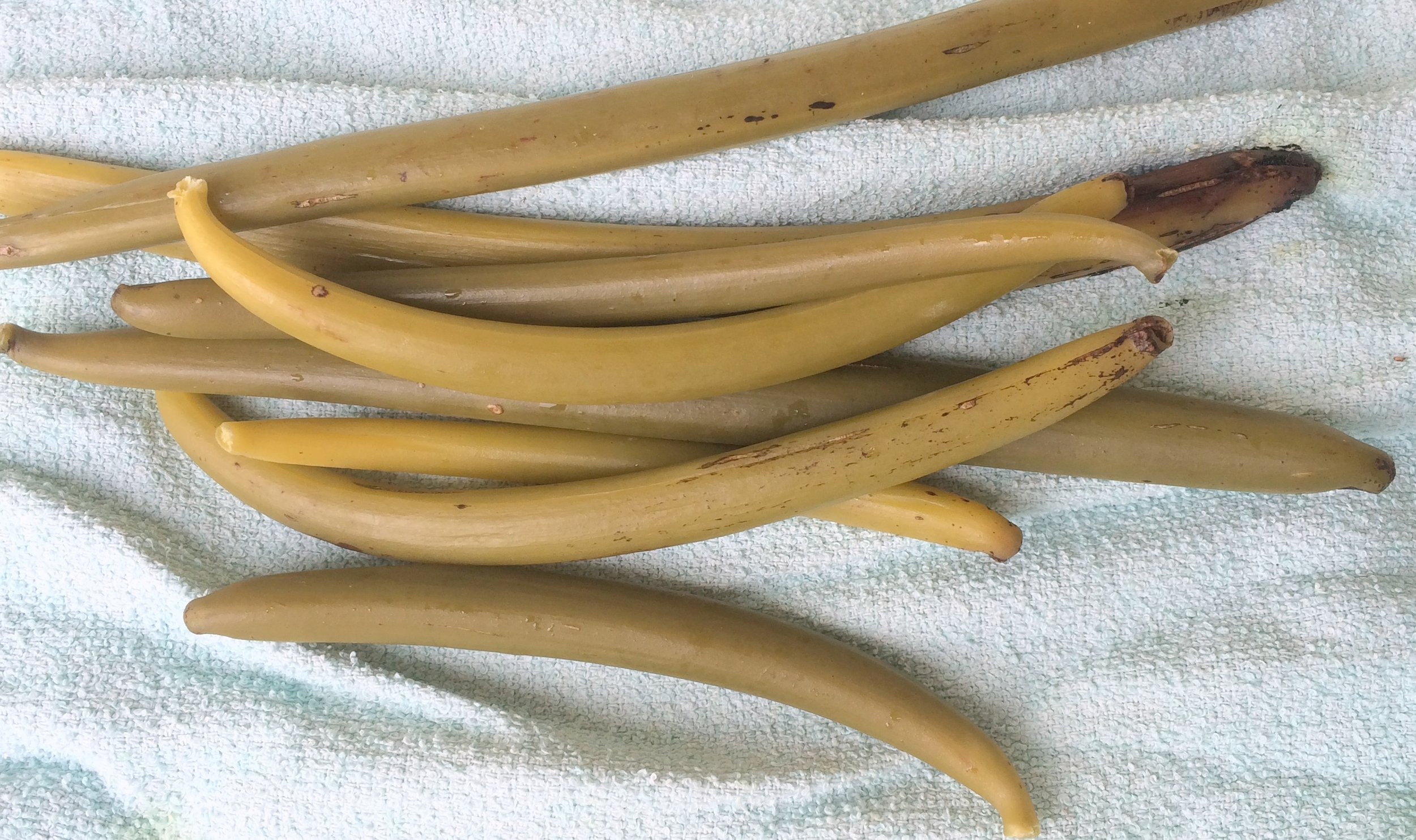 Vanilla beans after blanching and sweating.
