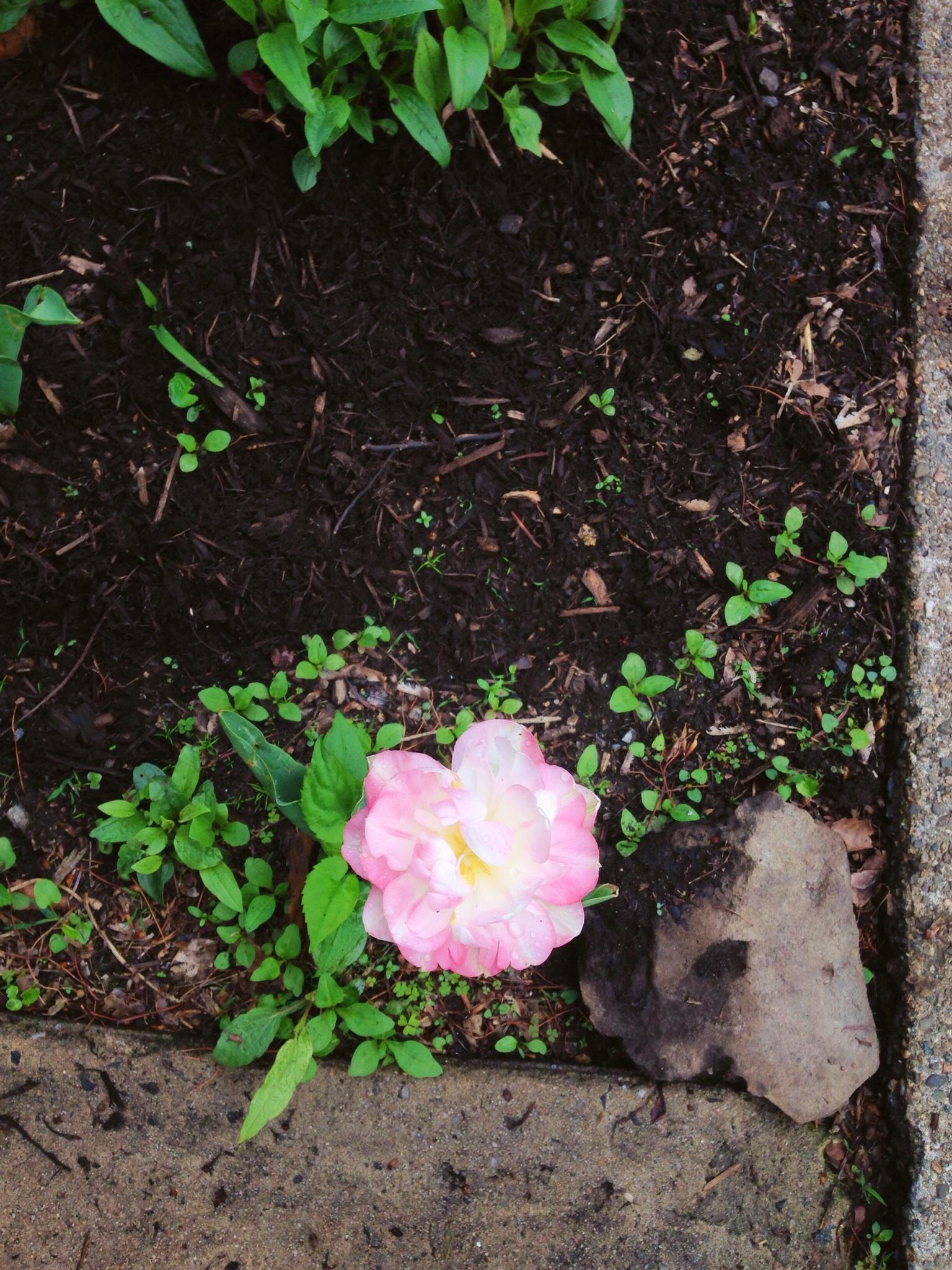 Chuck's current favorite flower downstairs in the garden