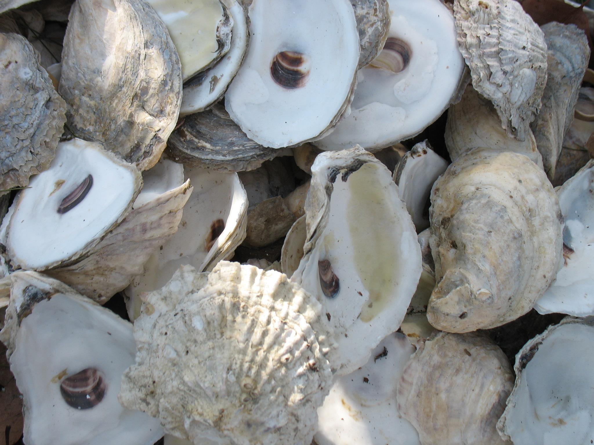 Recycled Oyster Shell for Restoration