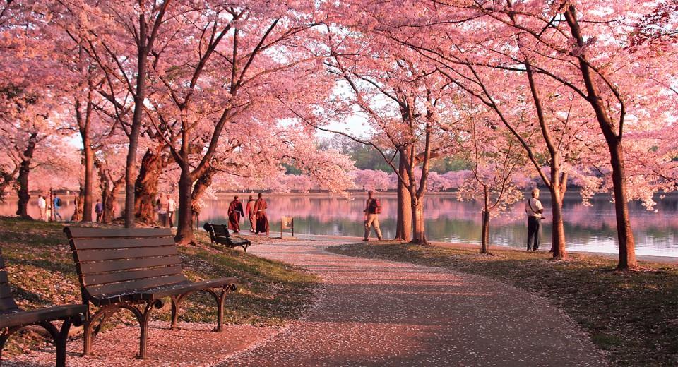 Cherry+Blossom+Path_forWeb.jpg