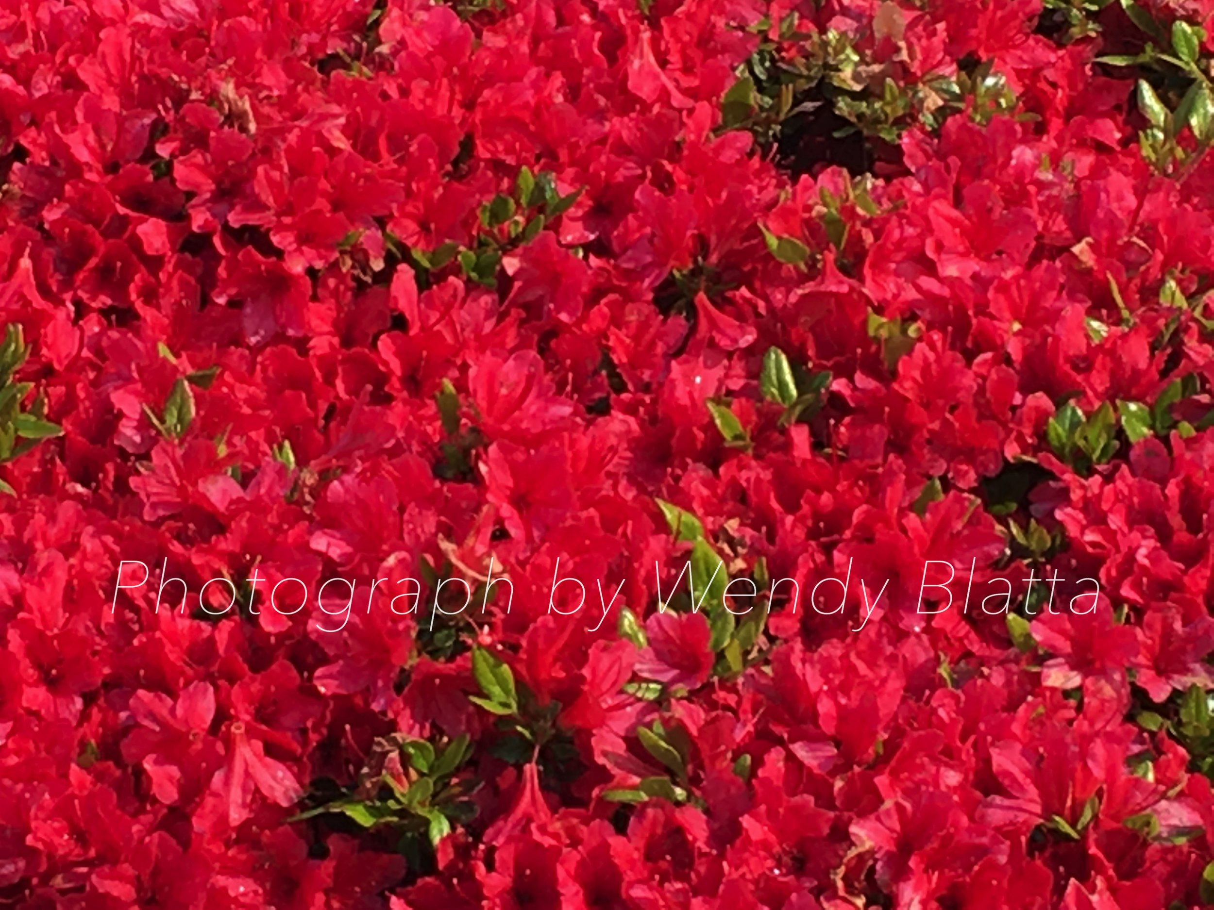 Rhodendron Red Town Watermarked = Gathering Memories And Joy.jpg