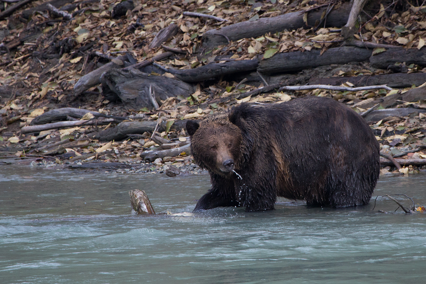 Bute Inlet Grizzly