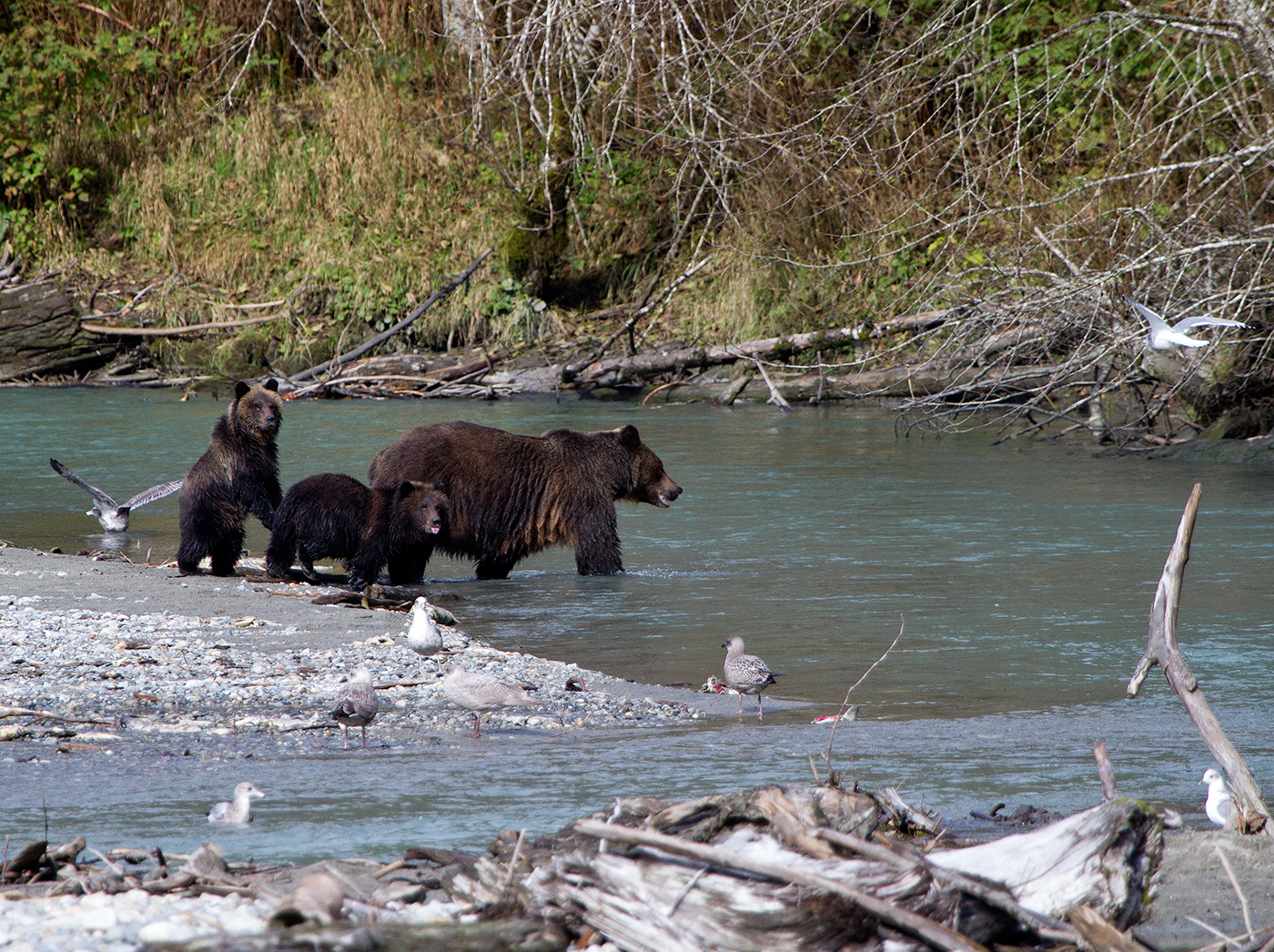 Bute Inlet Grizzly & Cubs