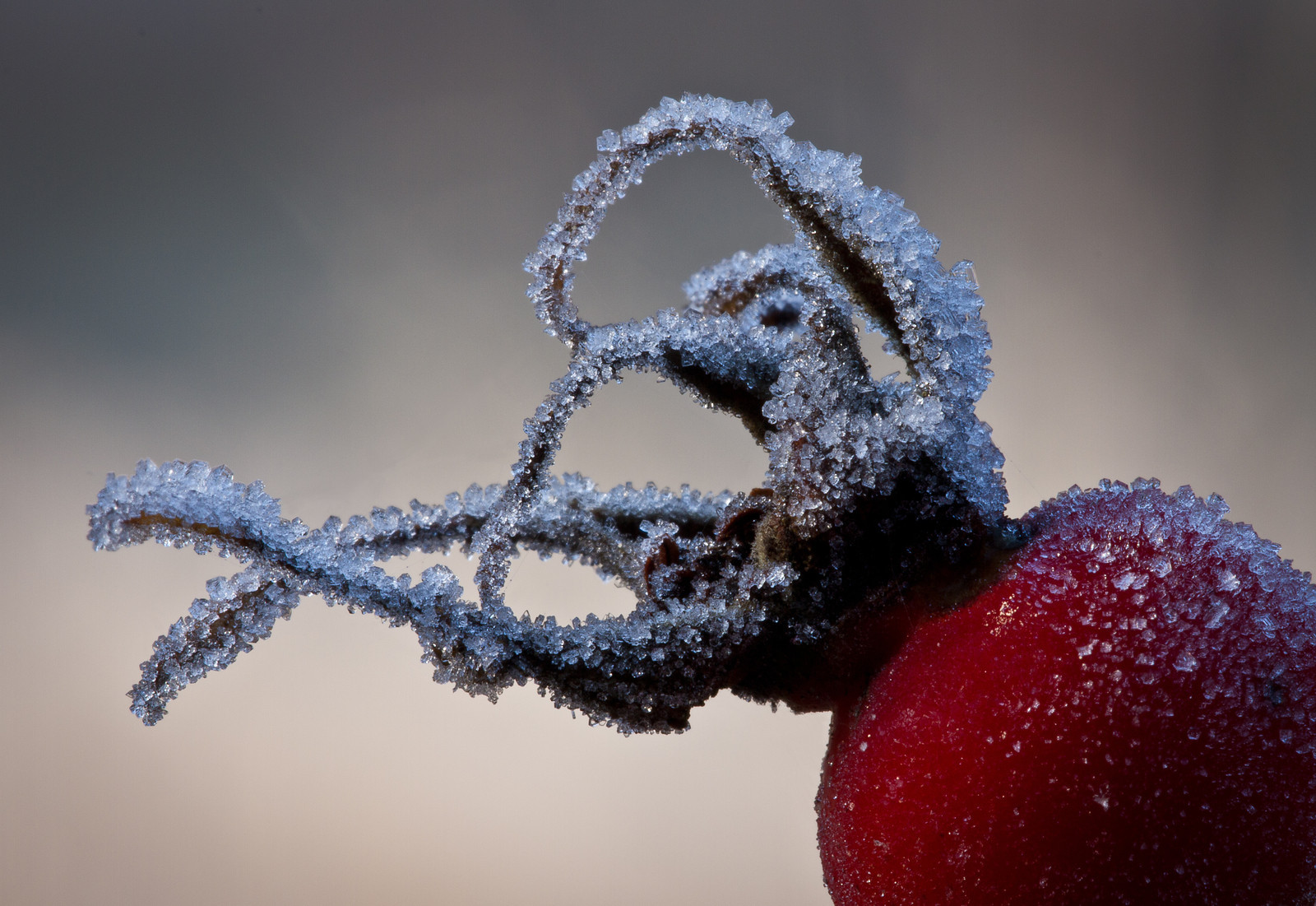 Frosted Rosehip-1-X3.jpg