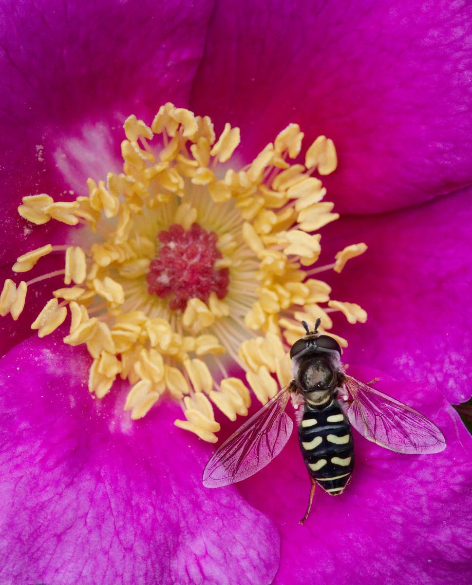 Wasps Love Pollen Too-1-X3.jpg