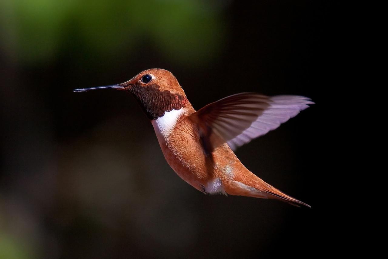 hummingbird-11_filtered-X2.jpg