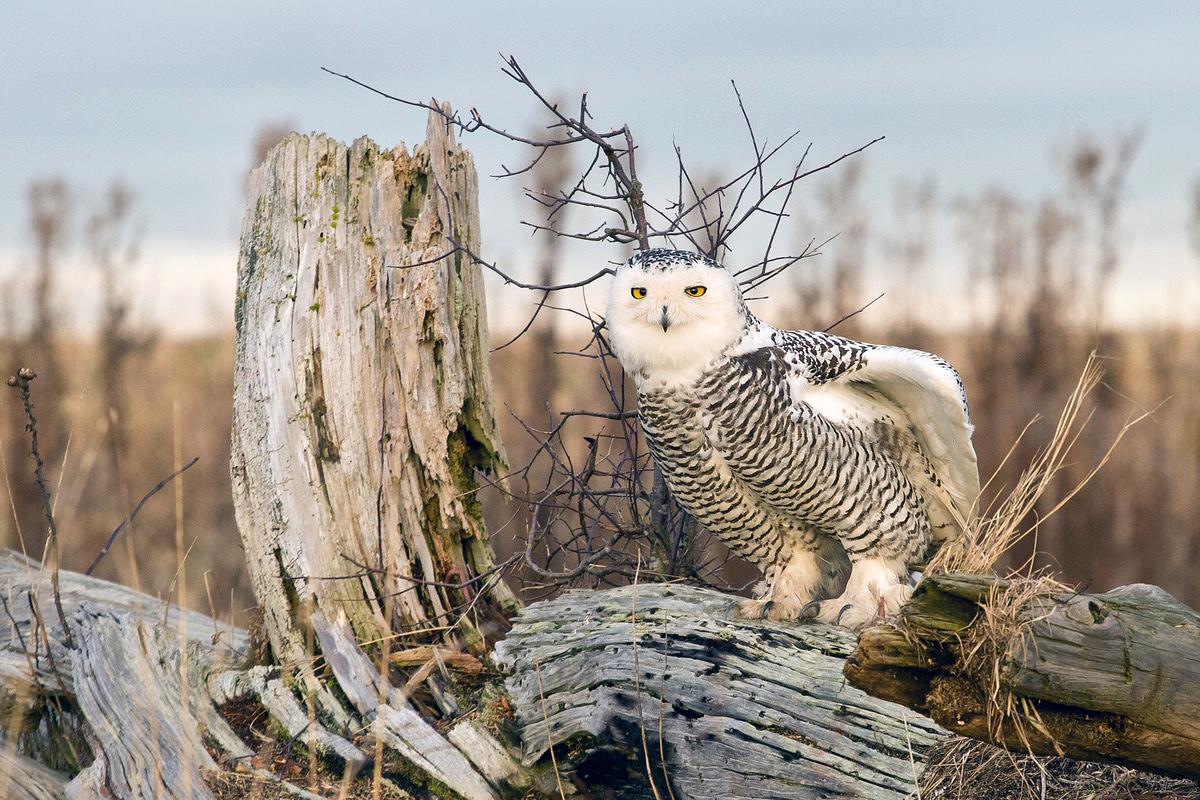 snowy owl hard crop-X3.jpg