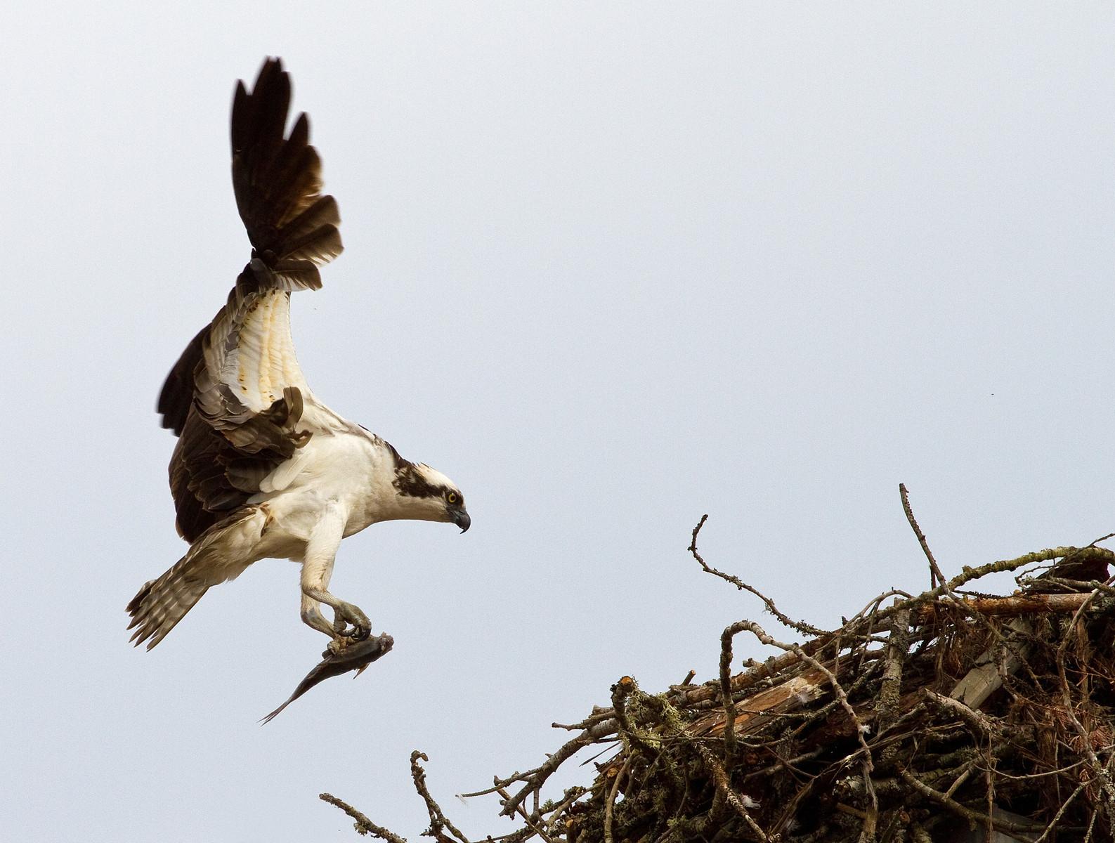Ladysmith Osprey 1-X3.jpg