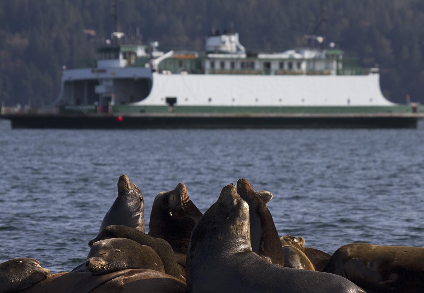 Fanny Bay Sea Lions-1.jpg