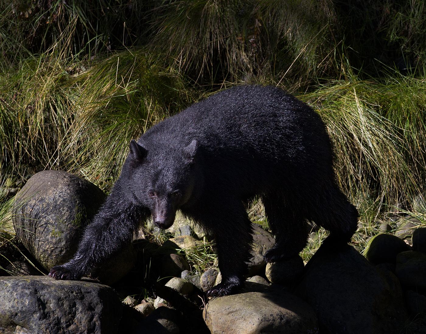 Thornton Creek Black Bear