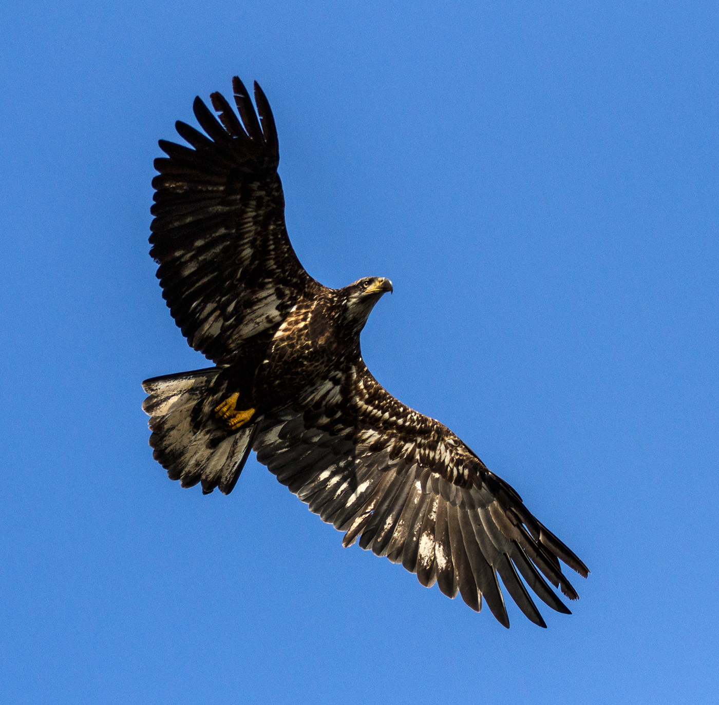 Juvenile Bald Eagle looking for herring